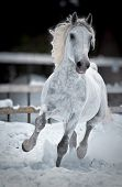 picture of lipizzaner  - White horse runs gallop in winter front - JPG