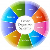 pic of anus  - An image of a human digestive systems - JPG
