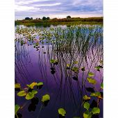 Lily Pads And Tall Grass On The River On A Cloudy Day poster