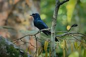 Greater Racket-tailed Drongo - Dicrurus Paradiseus, Asian Bird Distinctive In Having Elongated Outer poster