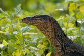 Asian Water Monitor - Varanus Salvator Also Common Water Monitor, Large Varanid Lizard Native To Sou poster