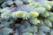 Symbolizing Immortality And Eternal Life. Spruce Or Conifer Plant. Spruce Fir Or Needles On Blurred  poster