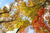 Bright Colored Red, Yellow And Green Oak And Maple Leaves On Trees In The Autumn Forest. Bottom View poster