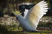 Wild Sulphur-crested Cockatoo Landing On The Ground With Its White Wings In Full Wingspan, Bright Ye poster