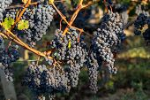 Close Up Of Red Merlot Grapes In Vineyard. Medoc, Gironde, Aquitaine. France poster