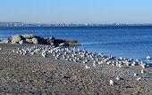 stock photo of burlington  - The view of lake Ontario in foreground an swarm of seagulls and on the