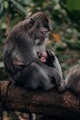 Mother Macaque Monkey Gazing Down At Her Baby While Sitting On A Branch At Ubud Monkey Forest In Bal poster