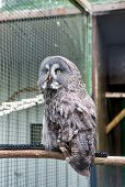 A Fierce Predator. A Bird Of Prey Or Raptor Perched In Zoo Cage. Prey Bird Of Typical Owl Family Wit poster