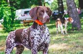 Beautiful Dog Breed German Shorthaired Pointe In The Park poster