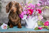 dachshund puppy brown tan merle color and roses flowers poster