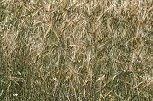Golden Ripe Wheat Field Agricultural Landscape, Bakery Cultivate Crop, Bread Harvest Season, Baking  poster