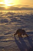 pic of polar bears  - Polar bear on the Arctic tundra back lit up by the setting sun.