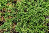 Close-up Of Evergreen Bush In Sunshine, Seamless Background poster