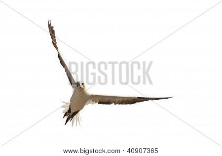 Northern Gannet In Flight, Isolated