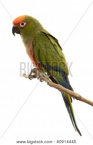 Paradise Gold Capped Conure