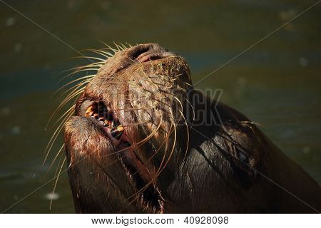 Eared seal (Otariidae) smiling out of the water