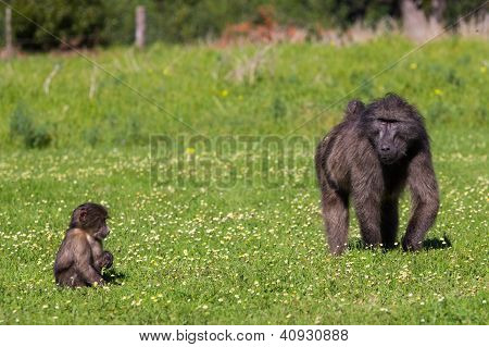 Chacma Baboon Mother And Infant