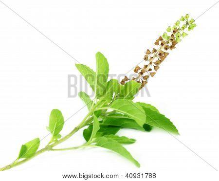 Medicinal holy basil or tulsi