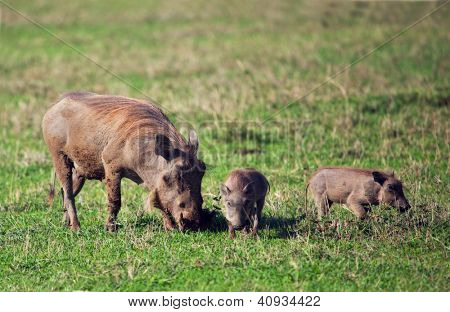 The warthog family on savannah in the Ngorongoro crater, Tanzania, Africa.