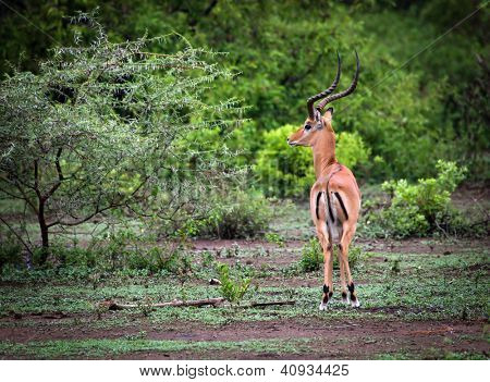 A male impala in Lake Manyara National Park, Tanzania. It is a medium-sized African antelope