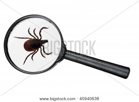 Black Legged Deer Tick As Found On Cats And Dogs