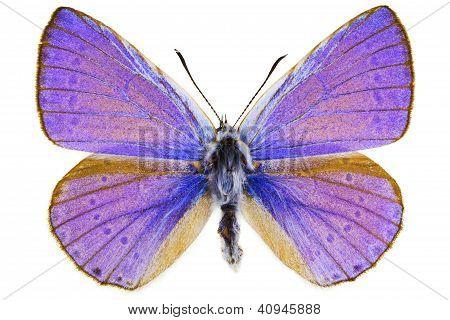 Iolana Iolas (iolas Blue)