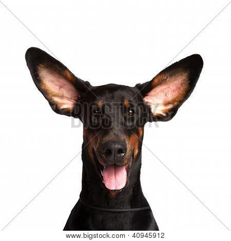 Lindos orejas de perro Dobermann aislado en blanco