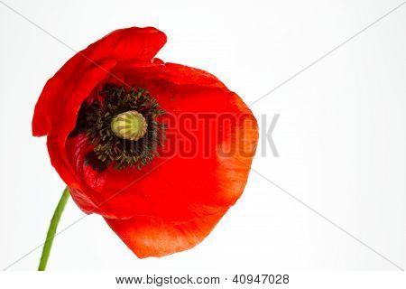Blooming poppy