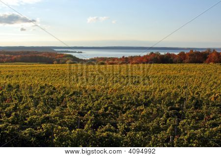Vineyard On The Bay
