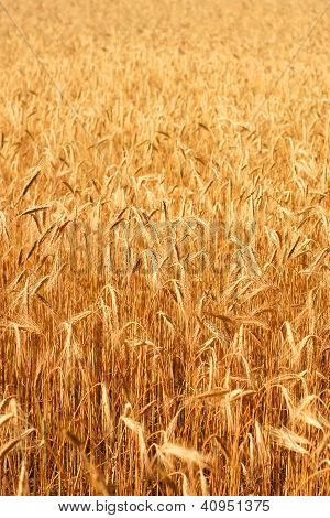 Wheatfield In The Sunshine