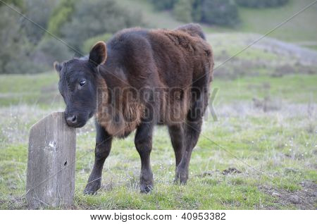 Baby koe wrijft haar gezicht op een stomp