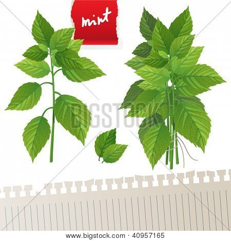 Highly detailed mint branch and mint bunch with place for your text