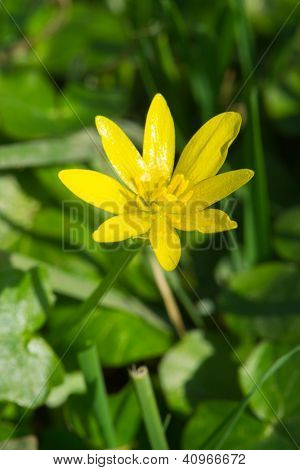 Yellow lesser Celandine in nature