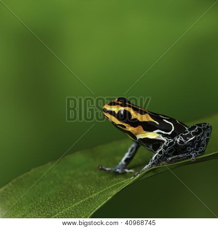 Amazon frog in tropical rain forest Peru poison arrow frog or dartfrog with bright vivid colors