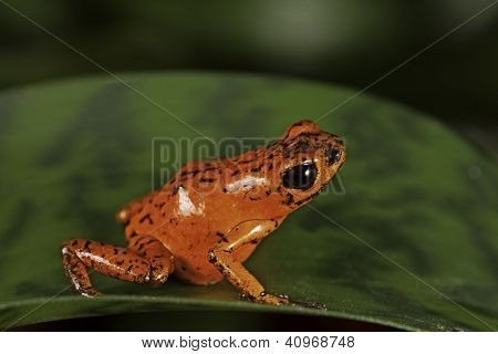 red poison dart frog Costa Rica tropical rainforest animal bright vivid colors