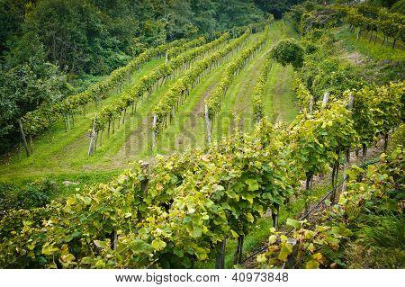 Vineyard in Lower Austria