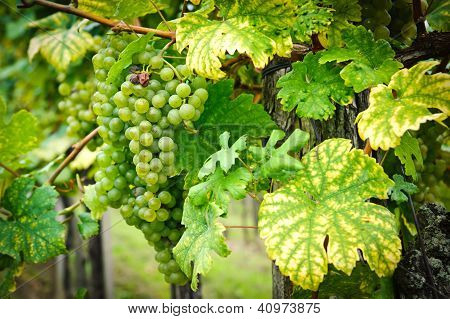 White Grapes on a Branch