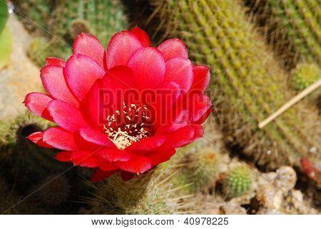 Detailed Red Cactus Blossom