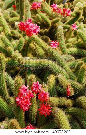 Cacti Blossoms