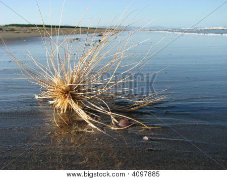 Tumbleweed On Beach
