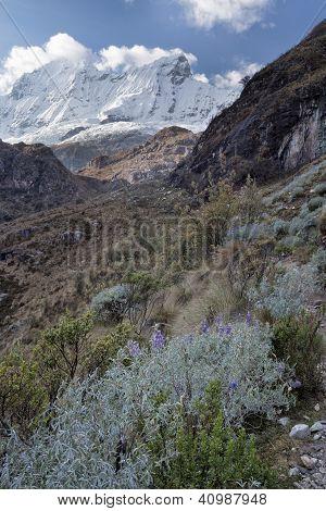 Wild lupins flowering, Laguna 69 trail, Cordilleras Blanca, Peru