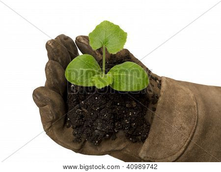 Small Young Plant Cupped In Gloved Hand XXXL Isolated