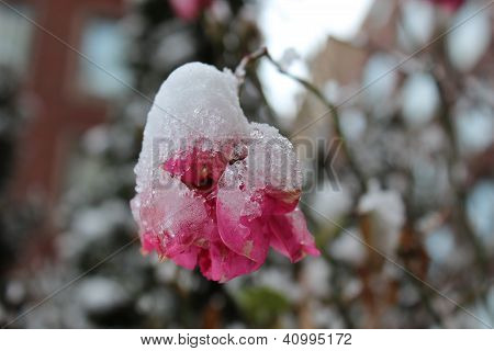 icy frosted rose