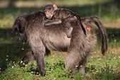 Infant Baboon Riding On Mothers Back