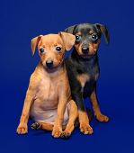 foto of miniature pinscher  - The Miniature Pinscher puppies 2 months 1 week old - JPG