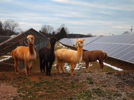 stock photo of foursome  - A foursome of adorable woolly Alpaca Llamas pose in front of several rows of solar panels with patches of snow on the ground.
