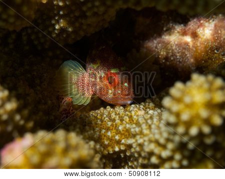 Yellowspotted Scorpionfish