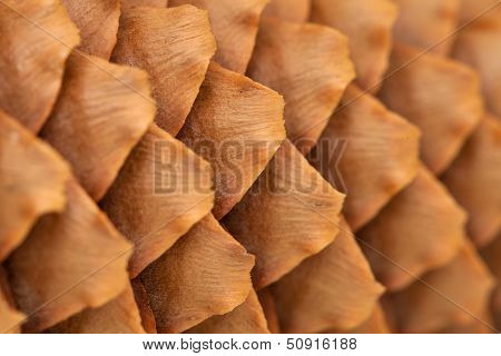 Spruce Cone Background