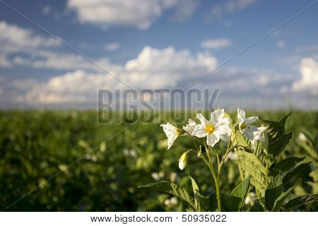 Potato plant flowers on sunny day, Midwest, USA