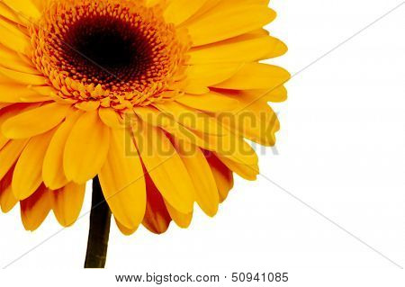 beautiful yellow flower on a white background